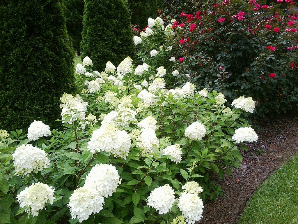 limelight hydrangea: the garden gift that gives all year round