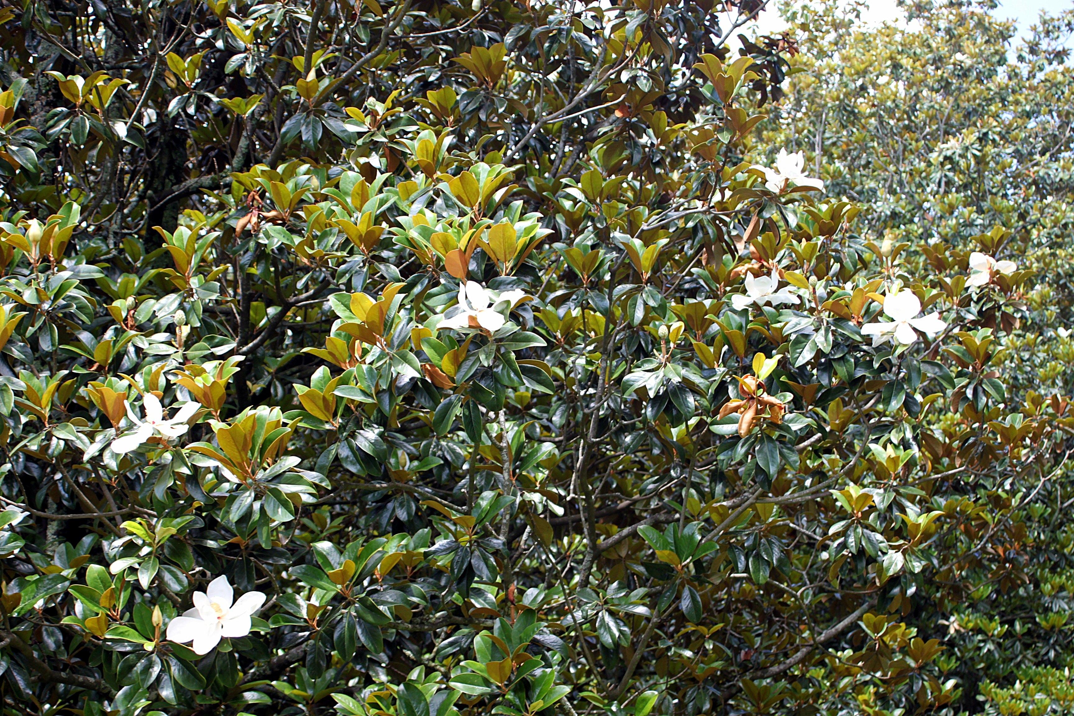 Magnolias And Mint Juleps Beautifulgardener