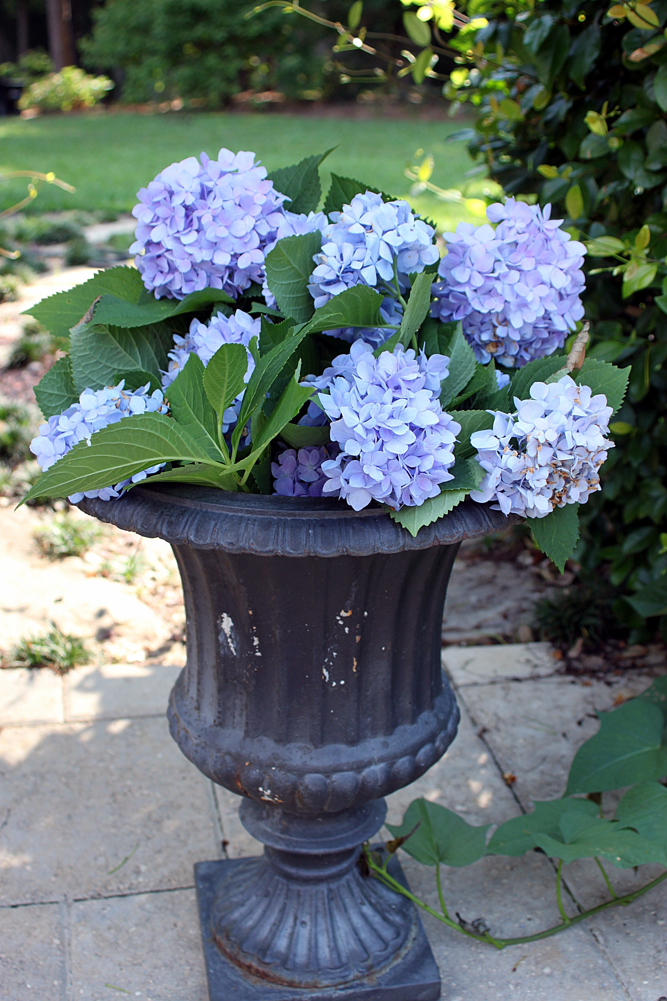 THE ALLURE OF BLUE AND WHITE HYDRANGEAS | beautifulgardener