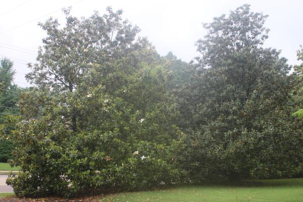 magnolias, Pontotoc_0001