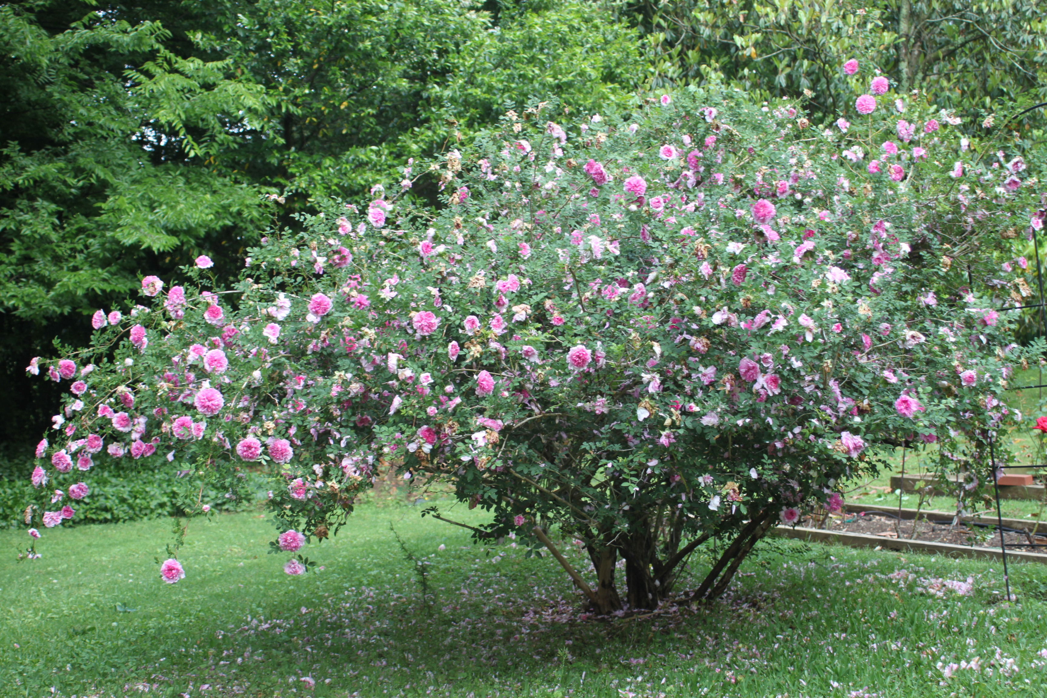 Antique Rose Bush
