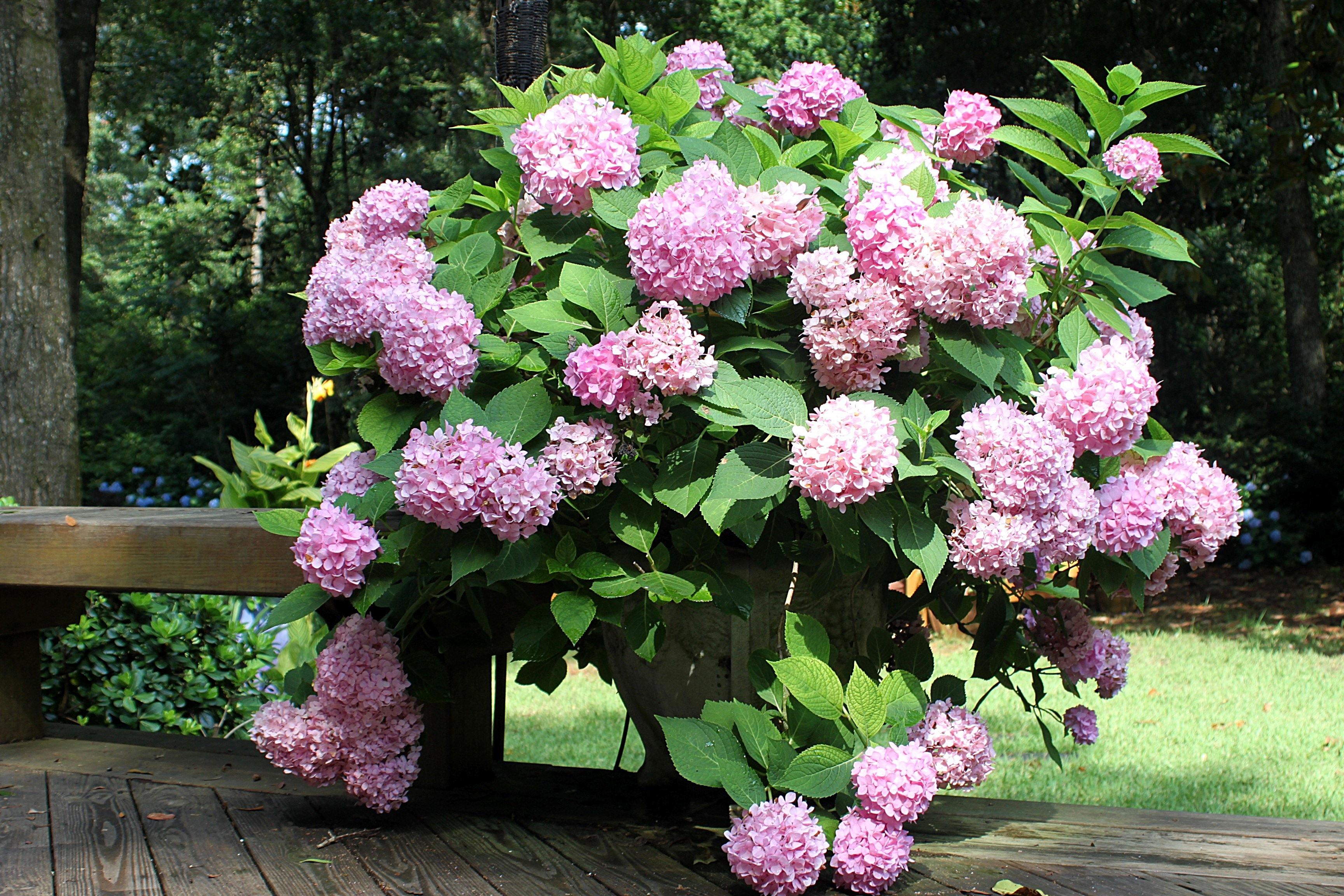 a host of hydrangeas beautifulgardener