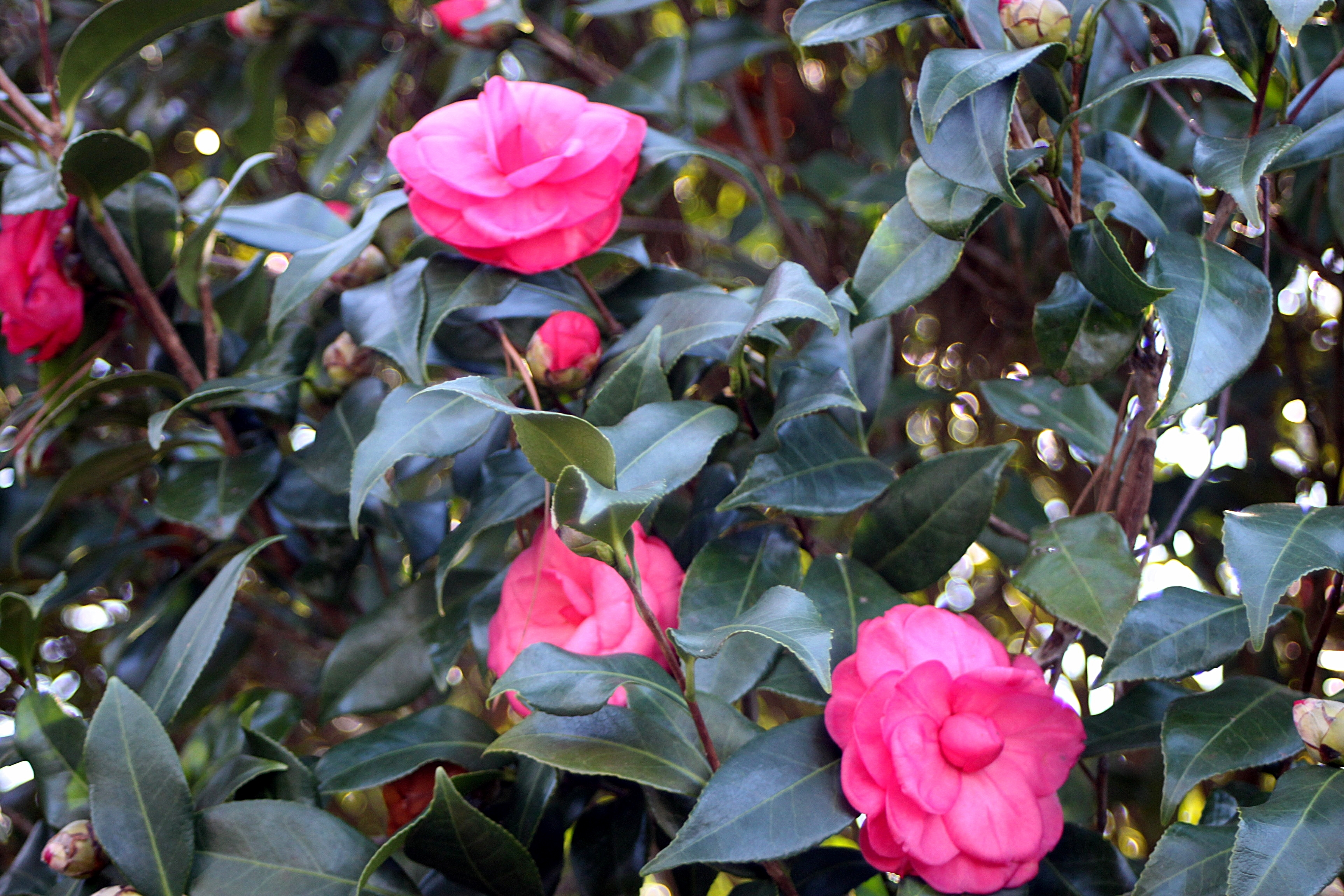 exquisite home and garden showplace.  blooms of many vintage camellias some which are at least 60 80 years old is a showplace for These exquisite make me wish spring The Earth Holds Its Breath Spring beautifulgardener
